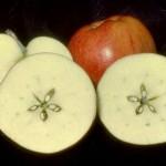 Magickal Apple Harmony Spell